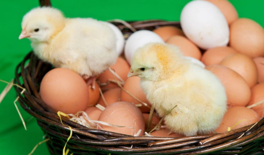 Рекомендуемый режим инкубации куриных яиц (до 200шт.)